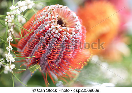 Pictures of Protea flower.