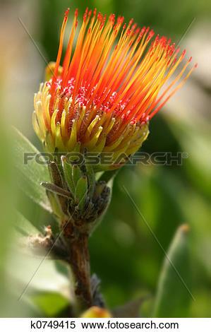 Stock Image of Pincushion Protea.
