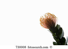 Pincushion flower Stock Photos and Images. 947 pincushion flower.