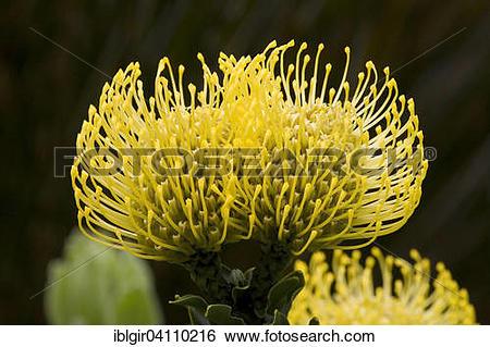 Stock Images of Pincushion Protea (Leucospermum spec.), Cape.
