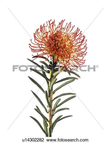 Stock Photo of Pincushion flower (Leucospermum sp.) u14302282.