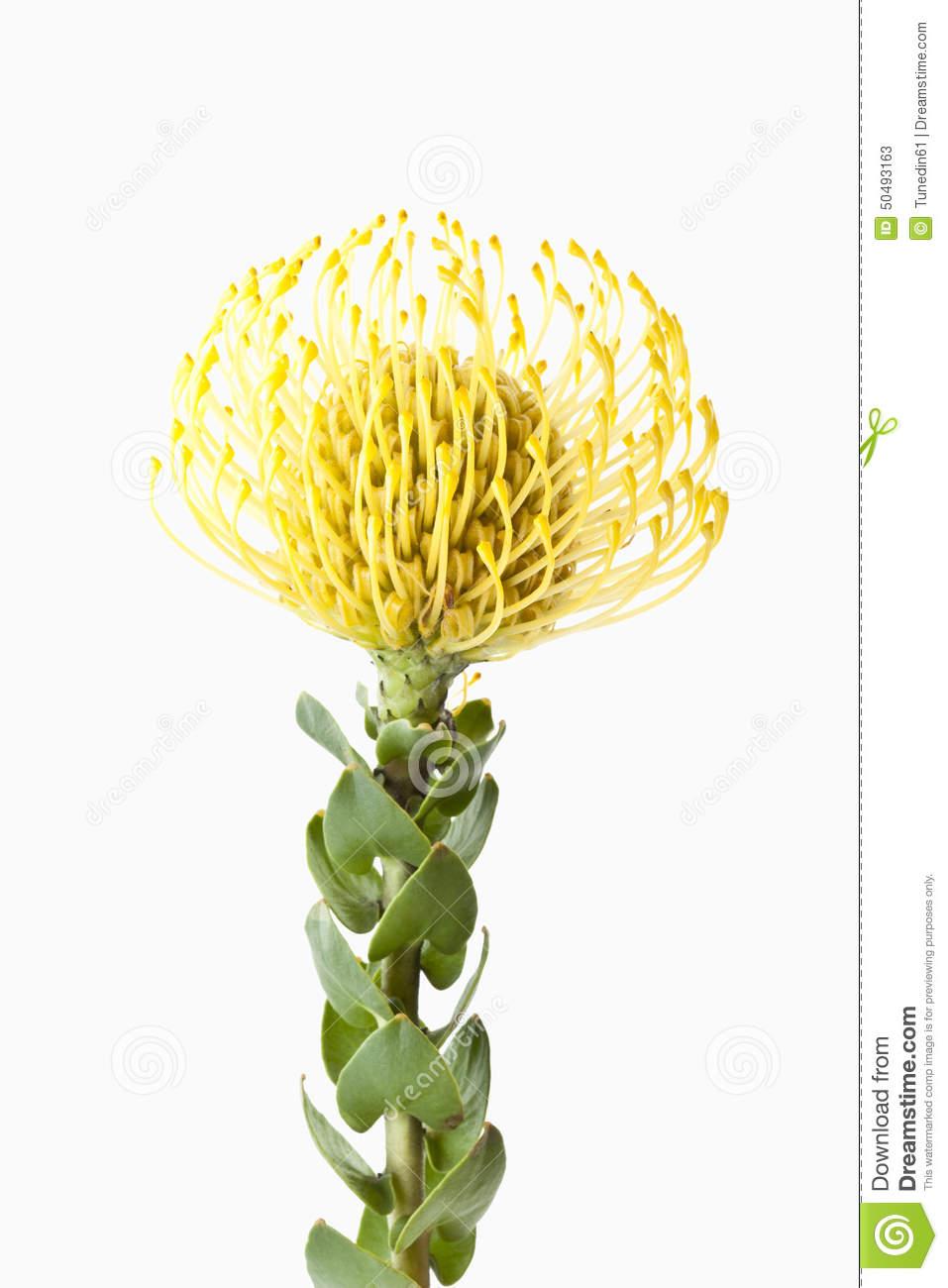 Pincushion Protea Flower (Leucospermum Cordifolium), Close.