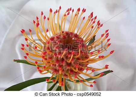 Stock Photo of Leucospermum cordif.