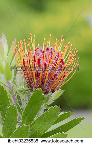 """Pictures of """"Protea or Pincushion plant, Outeniqua Pincushion and."""
