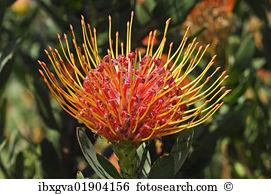 Leucospermum glabrum Images and Stock Photos. 6 leucospermum.