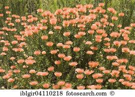 Leucospermum glabrum Stock Photos and Images. 6 leucospermum.