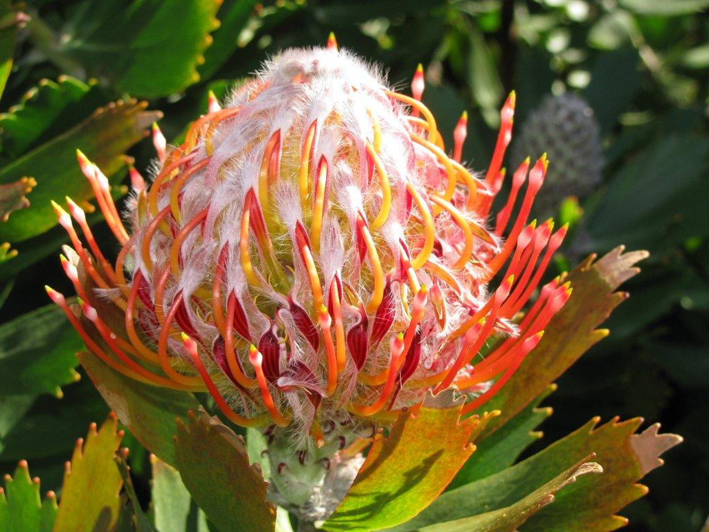Leucospermum glabrum.
