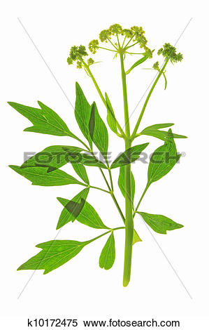 Stock Image of Lovage.