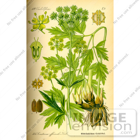 Picture of Lovage (Levisticum officinale).