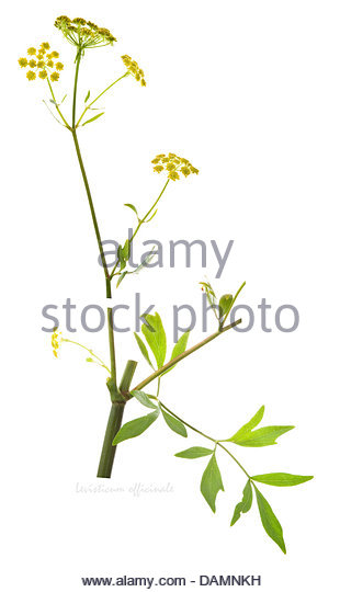 Flowering Lovage Stock Photos & Flowering Lovage Stock Images.