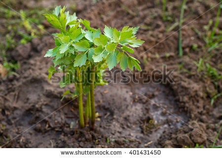 Levisticum Officinale Stock Photos, Royalty.