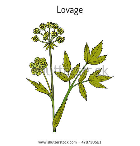 Lovage Stock Photos, Royalty.