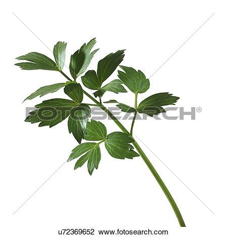 Stock Photo of Lovage Levisticum officinale stem u72369652.