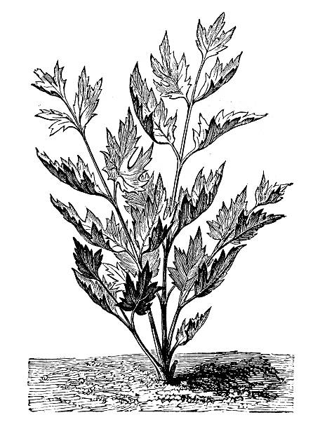 Antique Illustration Of Lovage (Levisticum Officinale) Clip Art.