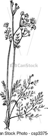 Vector Clip Art of Lovage or Levisticum officinale, vintage.