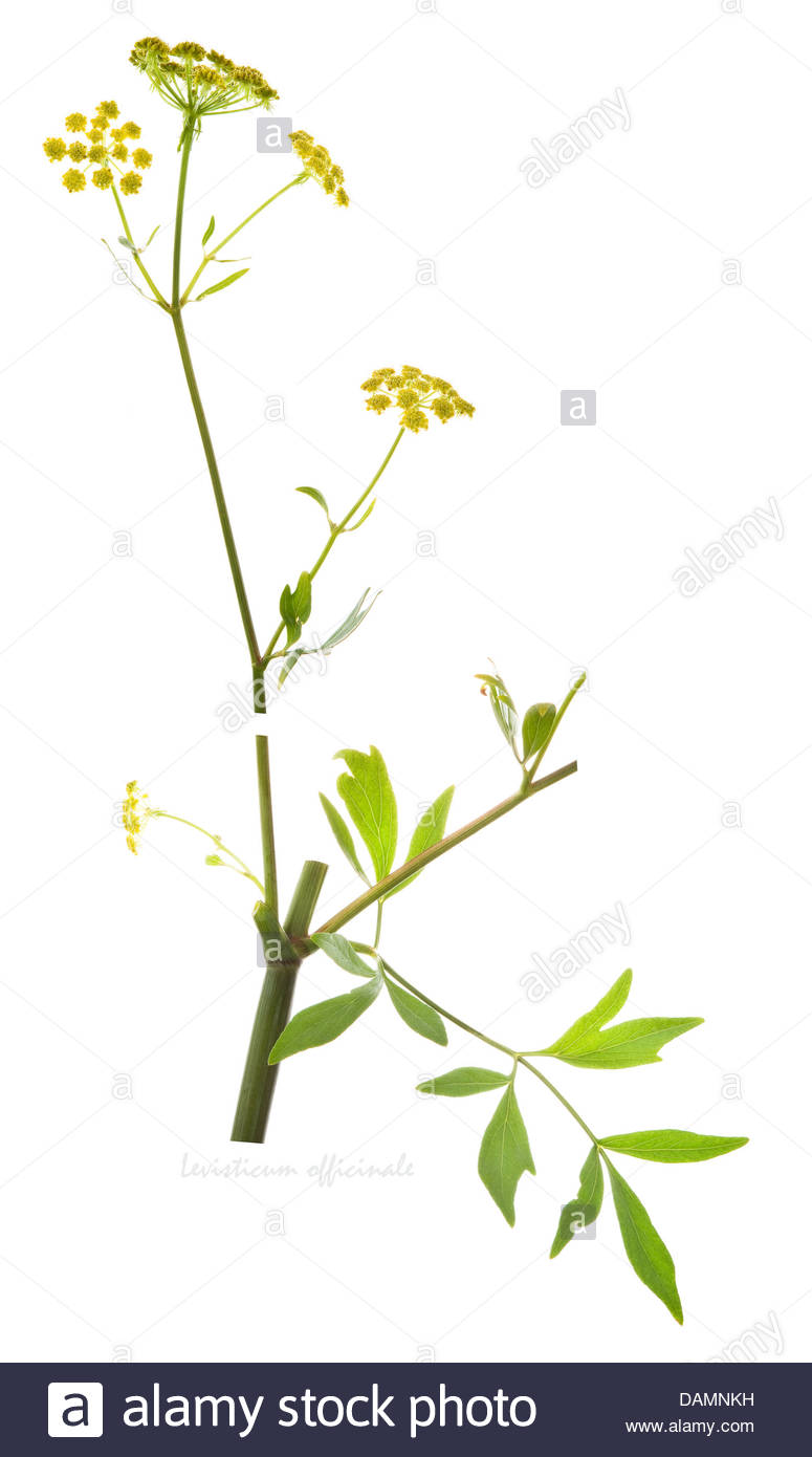 Lovage (levisticum Officinale) Flowers, Fruit And Leaves On The.