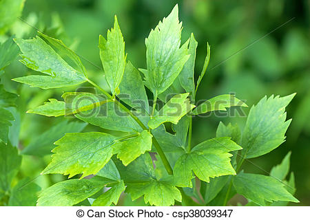 Stock Photo of Wet leaves of Lovage plant (Levisticum officinale.