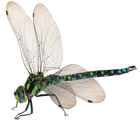 Dragonfly Insect Clipart.