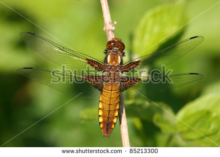 Libellula Depressa Female Stock Photos, Images, & Pictures.