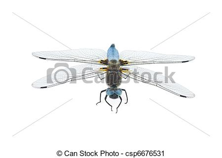 Stock Photography of Big blue dragonfly (Libellula depressa.