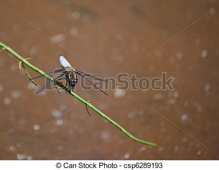 Stock Photos of Broad bodied chaser dragonfly libellula depressa.