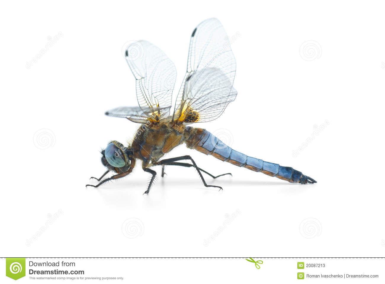 Big Blue Dragonfly (Libellula Depressa) Stock Photos.