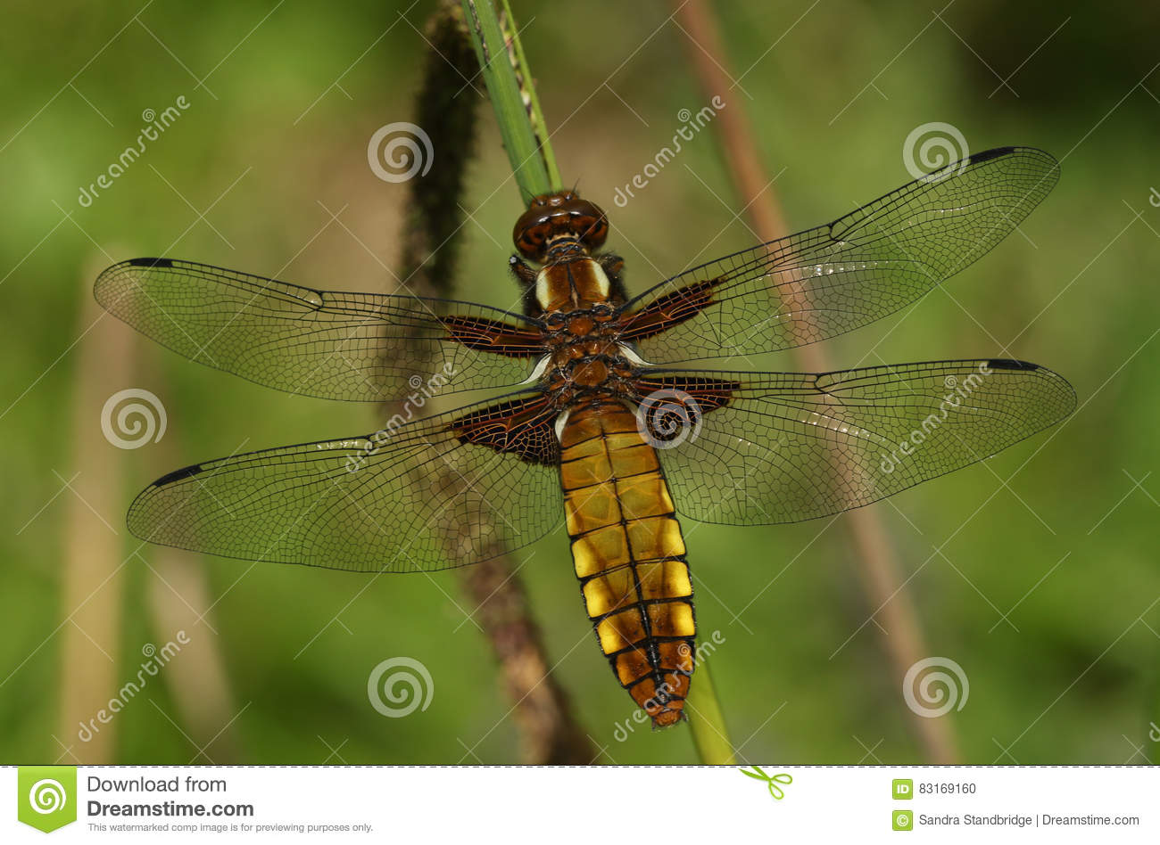 An Emerged Broad Bodied Chaser Dragonfly Libellula Depressa. Stock.