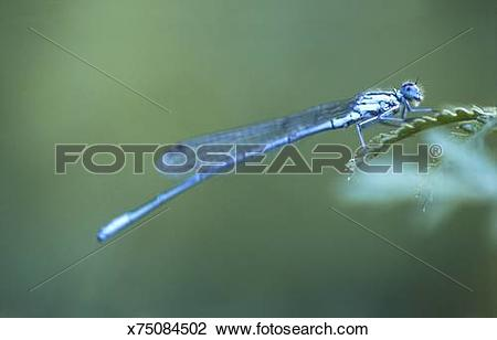 Stock Photo of Blue Dragonfly (Libellula depressa) perched on leaf.