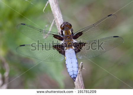 Libellula Depressa Stock Photos, Images, & Pictures.