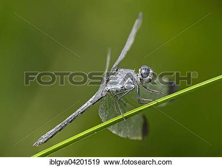 Stock Photograph of Neotropical dragonfly (Uracis fastigiata) male.