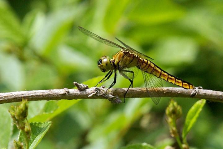 Libellulidae.