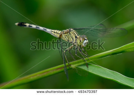 Odonata Stock Photos, Royalty.