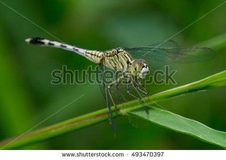 Odonata Stock Photos, Royalty.