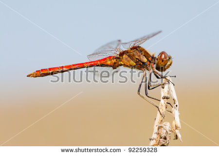 Red Dragonfly Sympetrum Flaveolum (Libellulidae) Sits On A Branch.