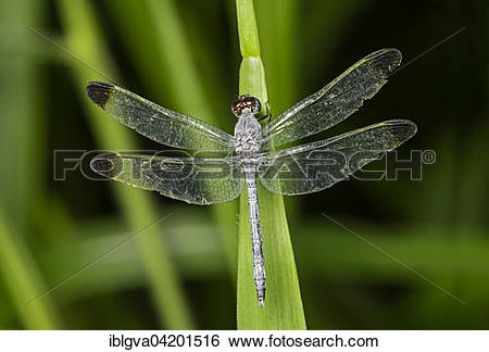 Stock Images of Neotropical dragonfly (Uracis fastigiata) male.