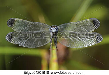 Pictures of Neotropical dragonfly (Uracis fastigiata) male.