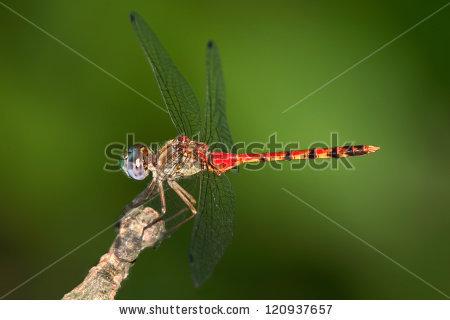 Libellulidae Banco de imágenes. Fotos y vectores libres de.