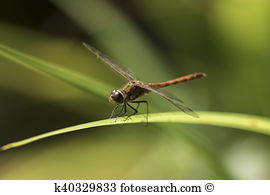Libellulidae Images and Stock Photos. 461 libellulidae photography.