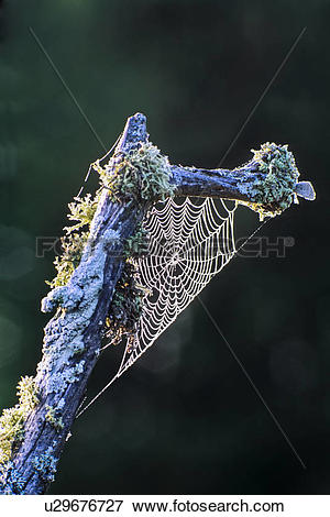 Picture of Spider web and dew on lichen covered branch near Parry.