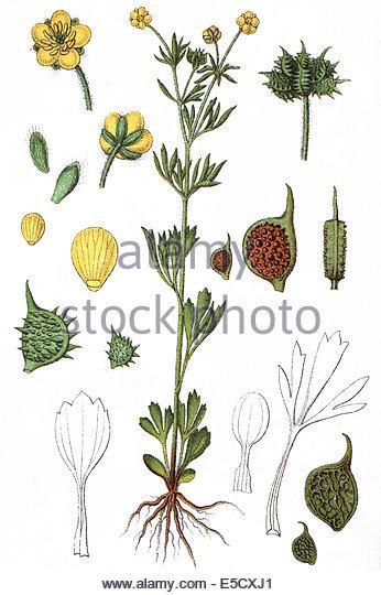 Ranunculus Arvensis Stock Photos & Ranunculus Arvensis Stock.
