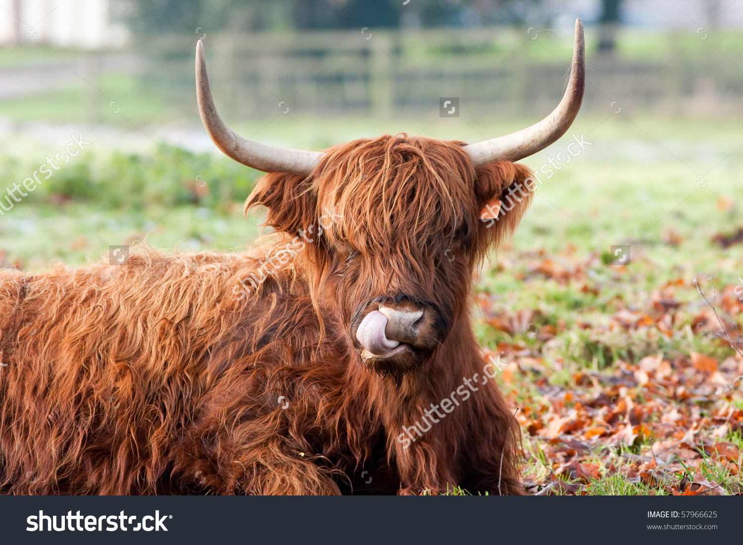 Highland Cow Licking Nose Close Up Stock Photo 57966625 : Shutterstock.