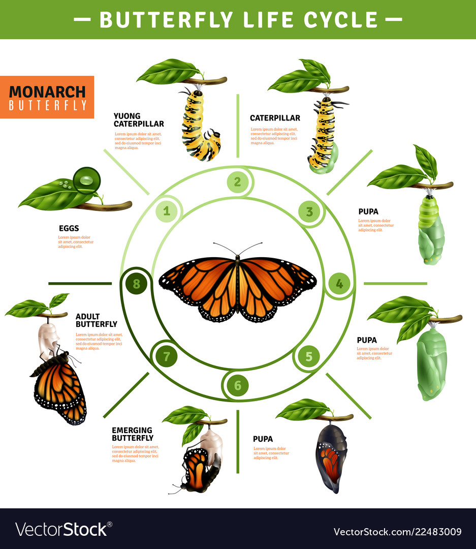Butterfly life cycle infographics.