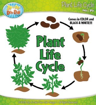 Plant Life Cycle and Life Stages Clipart {Zip.