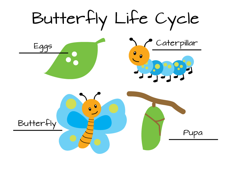 clip art life cycle of butterflys for kids.