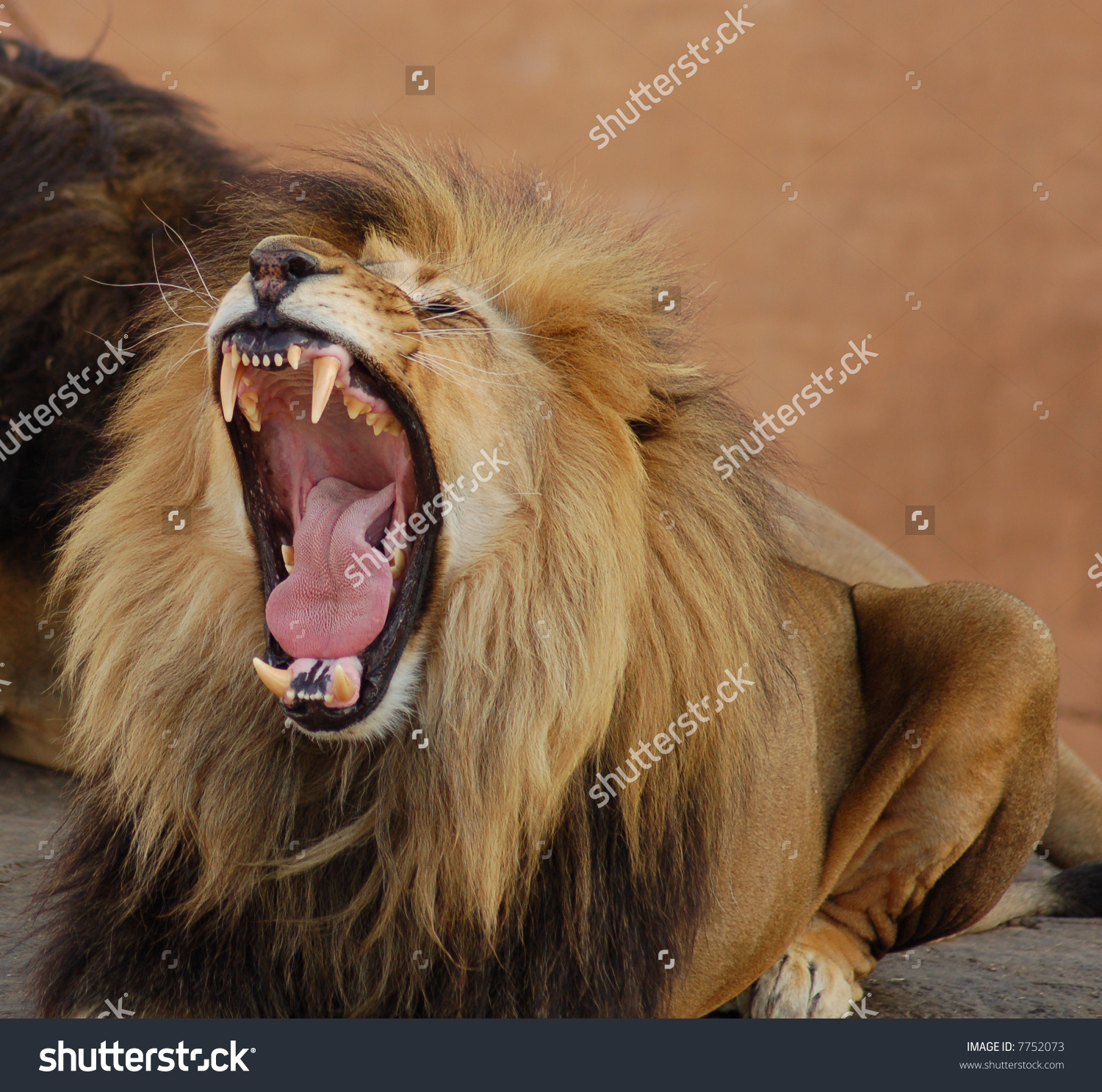 Lion jaw mouth clipart.