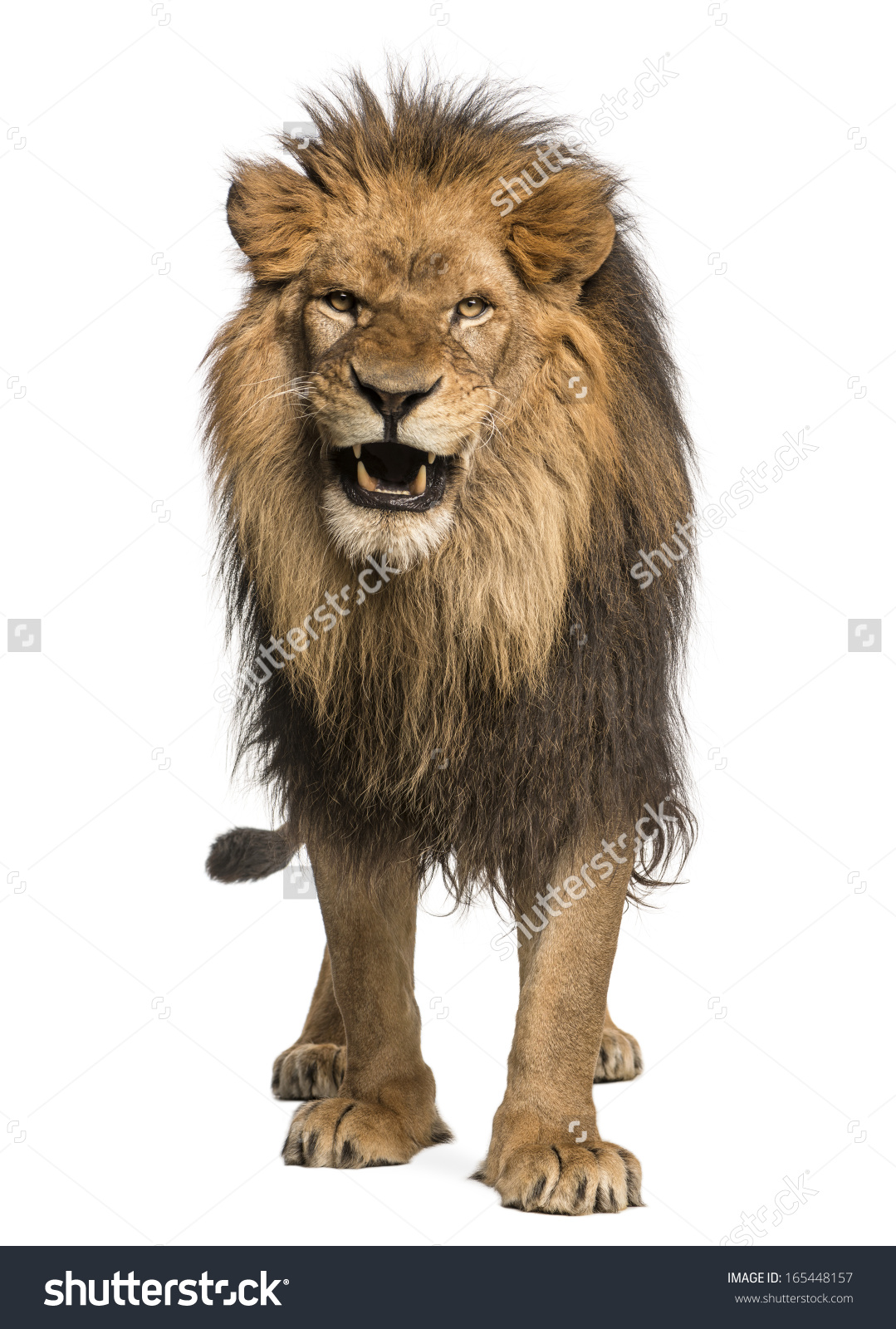 Front view lion body clipart.