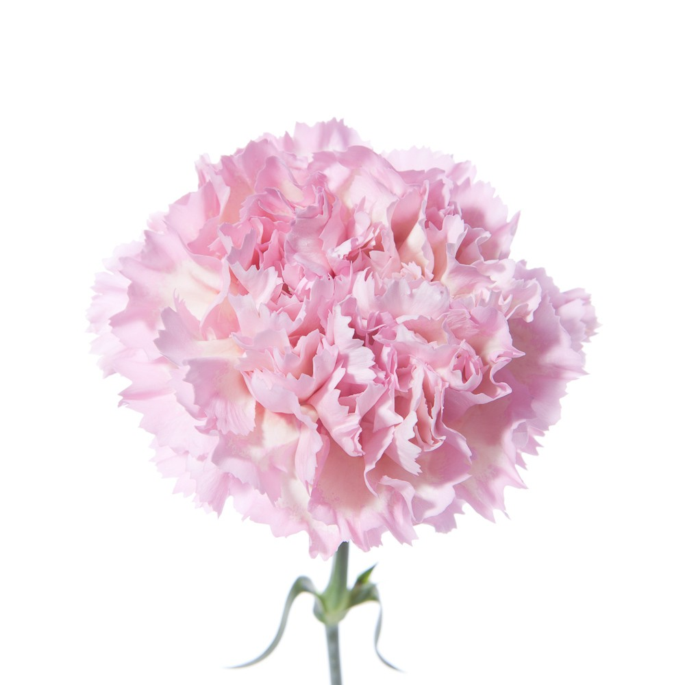Light pink carnation.