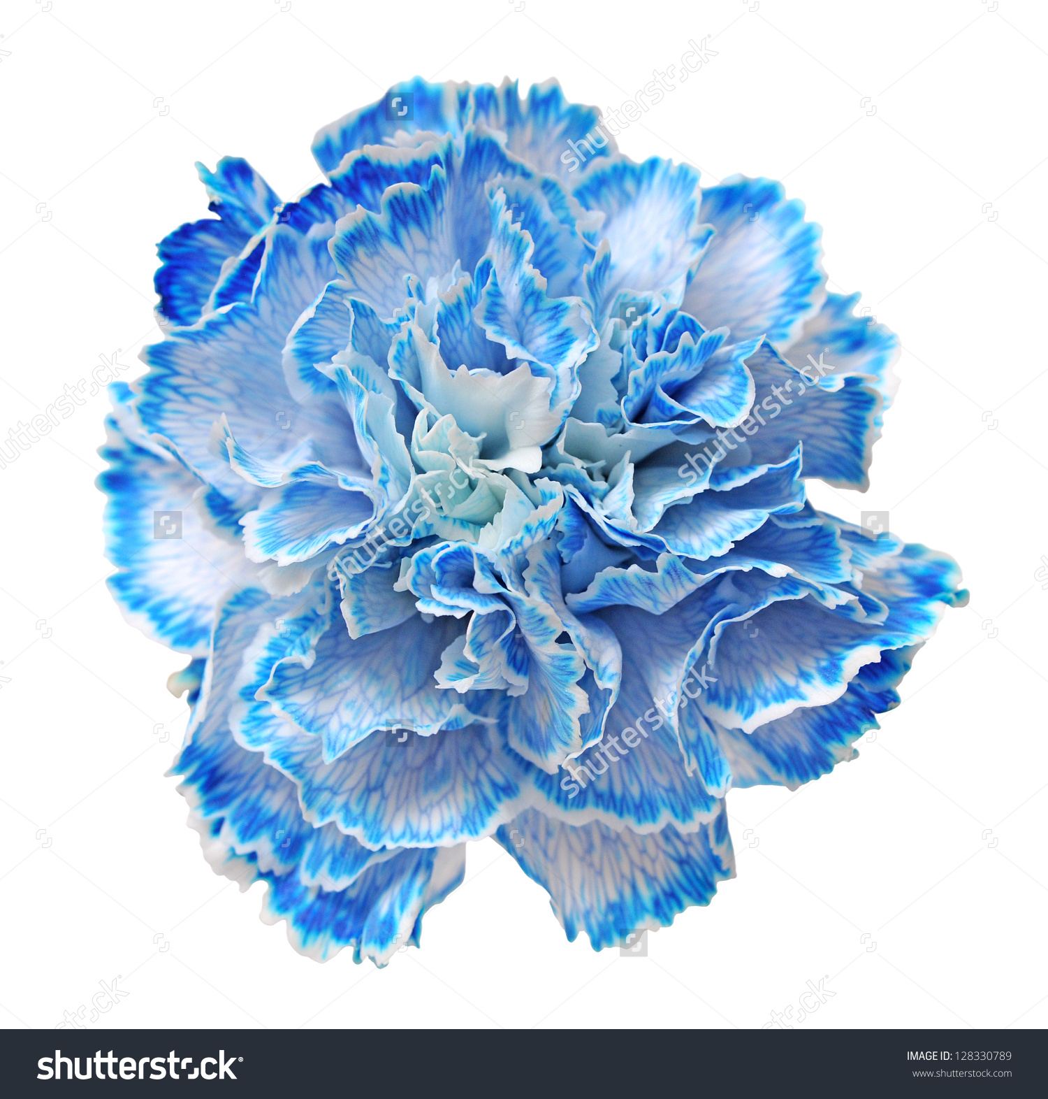 Blue Carnation Isolated On White Background Stock Photo 128330789.