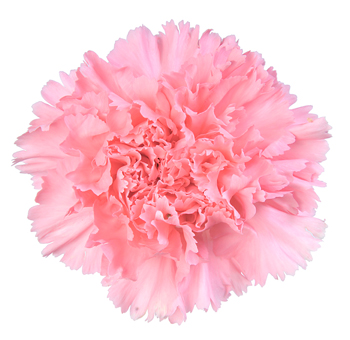 Carnation tattoo. So tempted.