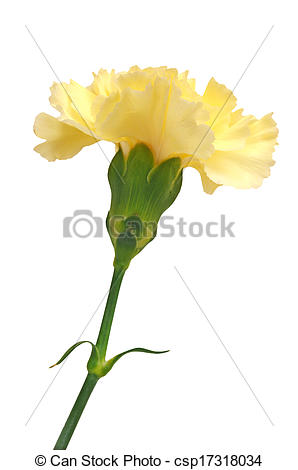 Stock Photos of light yellow carnation isolated on white.